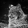 Sleepy Lynx (amcgdesigns) Tags: blackandwhite lynx kincraig highlandwildlifepark animalsandbirds eos7d flickrbigcats andrewmcgavin ©andrewmcgavin