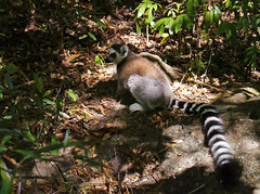 Ring-tailed lemur (Lemur catta), Isalo National Park (Niall Corbet) Tags: nationalpark lemur madagascar ringtailedlemur isalo lemurcatta