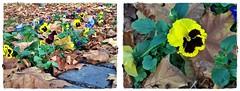 Remember..pansy-utolsó őszi árvácskák (Katalin Réz) Tags: flower pansy árvácska lovelymotherearth itsallaboutflowers amiamoci fleursetpaysages concordians flickrunitedaward