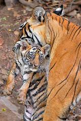 Family (dickysingh) Tags: cats big wildlife tigers ranthambore ranthambhore