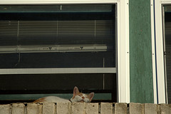 ledge kitty through screen (Justin van Damme) Tags: wood orange sun white green window up cat high tabby bricks kitty screen ledge frame blinds bathing trim