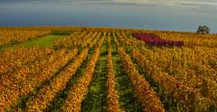 HerbstReben (tom.christen) Tags: autumn lake colors landscape schweiz switzerland see suisse wine herbst vineyards landschaft reben wein farben weinberg bielersee rebberg landscapephotograhpy