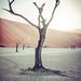 The Dead Acacia Tree