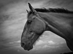 _DSC6609 (Andres Tuerca) Tags: caballo cabeza