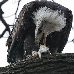 Hungry Eagle (Fred Roe) Tags: nature birds eagle wildlife birding raptor birdwatching birdwatcher conowingodam birdwithprey nikonafsteleconvertertc14eii nikond7100 nikkorafs80400mmf4556ged
