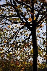 Herbstliche Platane (Platanus sp.); Flensburg (8) (Chironius) Tags: schleswigholstein deutschland germany allemagne alemania germania германия niemcy gegenlicht flensburg proteales silberbaumartige nelumbonaceae platanengewächse platanaceae platanen platanus baum bäume tree trees arbre дерево árbol arbres деревья árboles albero árvore ağaç boom träd