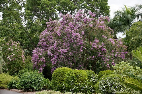 Spectacular Crape myrtle tree
