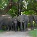 Elephants (Loxodonta africana) resting in the shade
