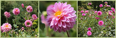 Pink Dahlia Triptych (groecar) Tags: dahlia flowers collage triptych collages pinkflower carol florals dahlias triptychs beautifulflowers groenen pinkdahlias carolgroenen