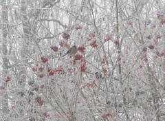 Gimpel im Morgennebel (bratispixl) Tags: schnee germany oberbayern morgennebel chiemgau traunreut gimpel schneeballbeeren vogelwinter stadtrundweg bratispixl
