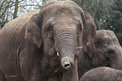 Olifanten Emmen (K.Verhulst) Tags: elephant elephants nl emmen noorderdierenpark olifanten dierentuinemmen asiaticelephants aziatischeolifanten