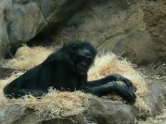 Bonobo (Pan paniscus) P1640562 (martinfritzlar) Tags: zoo frankfurt tiere säugetiere affen bonobo pan tier säugetier affe primat menschenaffe zwergschimpanse hominidae panpaniscus mammal primate ape pygmychimpanzee