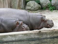 Flusspferde (Hippopotamus amphibius) P1640552 (martinfritzlar) Tags: zoo frankfurt tiere säugetiere flusspferd hippopotamus maikel petra tier säugetier paarhufer nilpferd hippopotamidae hippopotamusamphibius mammal hippo