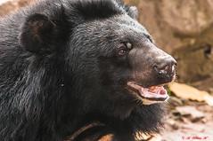 ORSO LABIATO (cune1) Tags: animals natura animali natire protezione wordlife nikond300s