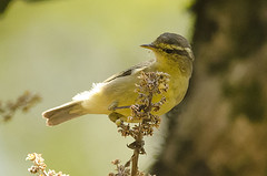Tickells Leaf Warbler (as_kannan) Tags: bangalore nandihills phylloscopusaffinis
