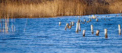 Walking pads (Pics by mzx) Tags: reed water eau roseaux studs pads plots d40x