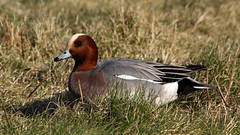 Wigeon (Explore) (NickWakeling) Tags: nature birds wildlife norfolk ducks cley wigeon cleynextthesea canon60d norfolkwildlifetrust cleymarshes sigma150500mmf563dgoshsm