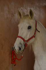 Lusitanian (Leela Channer) Tags: red portrait horse orange white nature animal stone grey head cream rope pale collar creature stable equine bridle lusitano lusitanian equid