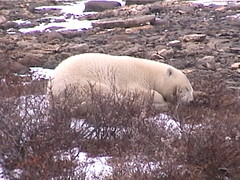 Polar Bear Churchill 9