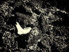Wasteland (daniel.stark) Tags: lava desert fuerteventura bones vulcan canarian kiefer zhne wste wasteland vulkan knochen kanarischeinseln dland vulkangestein