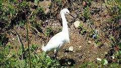 Snowy Egret & Neotropic Cormorant, Espada Park, San Antonio, TX 3/5/15 (LJHankandKaren) Tags: cormorant egret snowyegret neotropiccormorant espadapark