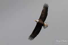 Majestic Bald Eagle flybys