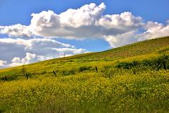 IMG_0269 (Undre_R) Tags: clouds spring vineyards livermore rollinghills springtime livermoreca mustardflowers