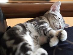 P3171205 (catfish.boogie) Tags: japan cat sapporo hokkaido mzuikodigital45mmf18 olympusomdem5
