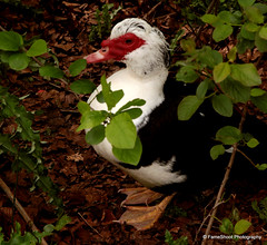 IMG_8239 (FameShoot) Tags: blackwhite duck bush different