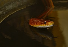 Everglades Ratsnake (Elaphe obsoleta rossalleni) _DSC0269 (ikerekes81) Tags: zoo washingtondc dc reptile snake nationalzoo dczoo smithsoniannationalzoologicalpark washingtondczoo evergladesratsnake elapheobsoletarossalleni