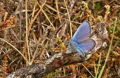 Heideblauwtje - Plebejus argus (henkmulder887) Tags: nature natur natuur natura drenthe landschap vlinder papilion plebejusargus dwingelderveld waardplant heideblauwtje struikheide gewonedopheide