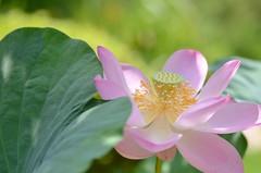 pink lotus flower (snowshoe hare*) Tags: dsc0552 lotus lotusflower flowers hokongointemple kyoto