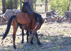 I58C9999 (Wild Arizona Photography) Tags: wildhorses forest trees nature