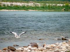 _S717482772 (Rosshox) Tags: naturalphotography natura wildlife action animals animali fujifilm fujifilmxs1 volatili