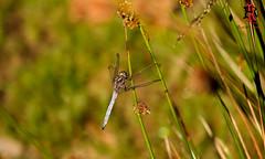 03176-17 de julio de 2016 (Tres-R) Tags: spain espaa galicia pontevedra liblula dragonfly animals animales airelibre macro rodolforamallo tresr sonyrx10