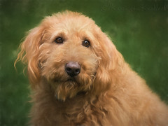 Oliver (KvonK) Tags: dog pet painterly oliver july apricot labradoodle rescued 2016 kvonk
