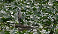 Heron - Walton Hall (08) (Malcolm Bull) Tags: 20160728walton0008edited1web walton hall heron water lilies