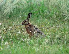 Urlaub Dnemark 2016 (bunkertouren) Tags: rabbit nature strand denmark meer outdoor urlaub natur dnemark hase hasen 2016 urlaub2016