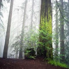 foggy misty rainy days (-Alberto_) Tags: hasselblad500cm redwoods foggy nature fujicolor160 mediumformat 120film 6x6