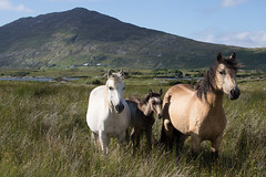 Connemara ponies (arripay) Tags: ireland wild horses horse mountain galway hill pony connemara ponies tully