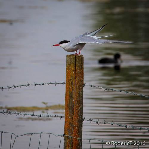 20160723-IMG_6788 Common Tern On Post Rutland Water.jpg