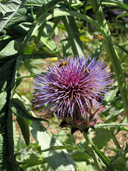 Cardoon (Sherry Schmidt) Tags: cardoon purple bees garden gardening nature artichoke spikes spines