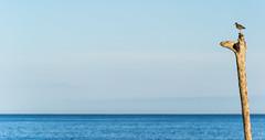 Vigilante en Hellnar (Luis GA) Tags: bird pajaro ave lugamor luisga tronco mastil trunk sea ocean mar oceano blue azul sky cielo hellnar iceland islandia paisaje landscape archibebecomun commonredshank d3100 nikon