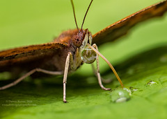 Drink Time (Dwood Photography) Tags: butterfly insect dwoodphotography dwoodphotographycom green brown selfie water droplet drinktime drink time leaf dof antenna