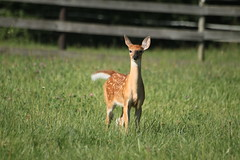 IMG_9218 (thinktank8326) Tags: nature wildlife deer spots fawn whitetaileddeer babyanimal