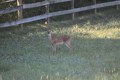 IMG_9137 (thinktank8326) Tags: nature wildlife deer spots fawn whitetaileddeer babyanimal