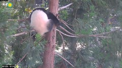 2016_08-11d (gkoo19681) Tags: beibei treetime climbing dangling ccncby nationalzoo
