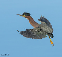 GREEN HERON (sea25bill) Tags: california morning sun bird nature animal inflight wildlife bluesky slough greenheron