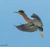 GREEN HERON (sea25bill) Tags: california morning sun bird nature animal inflight wildlife bluesky slough greenheron