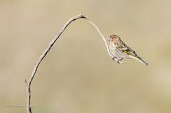 Little bird! (Esmaeel Bagherian) Tags: bird birds nikon tamron birdwatching songbird 2016  littlebird 1395  birdsphotography  nikond7000   esmaeelbagherian